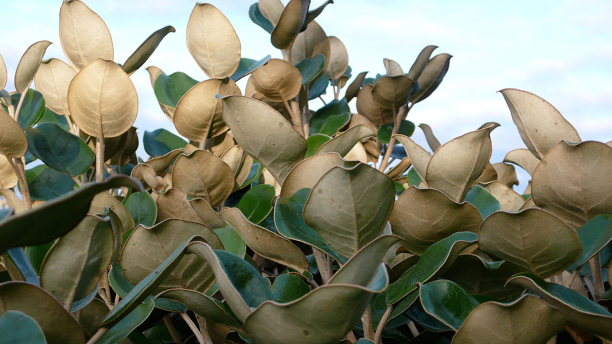 Muttonbird tree
